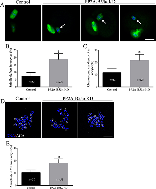 Knock down of PP2A-B55α impairs spindle assembly and chromosome alignment and increases the incidence of aneuploidy during oocyte meiosis.
