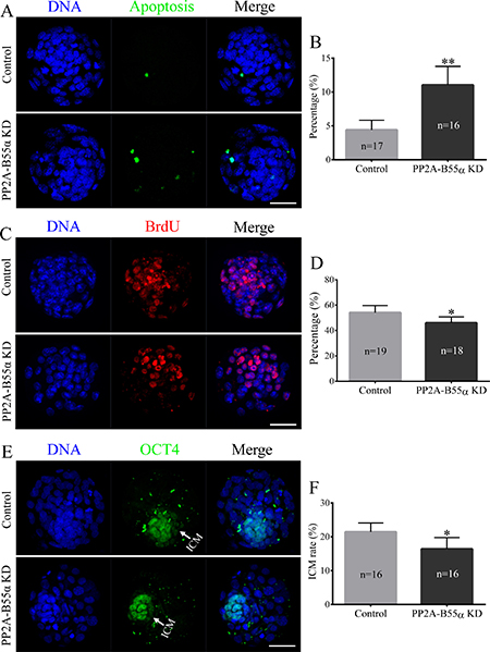 Knock down of PP2A-B55α affects the levels of apoptosis and cell proliferation in mouse embryos.