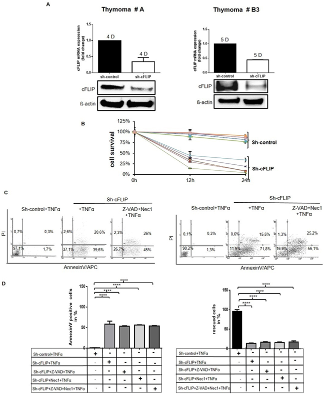 Sensitization of cultured TECs for TNFα-induced cell death following sh-cFLIP mediated knockdown pTECs from 2 different thymoma subtypes (A and B3) were transfected with either pU6neo-sh-cFLIP or scramble pU6neo-sh control plasmid.