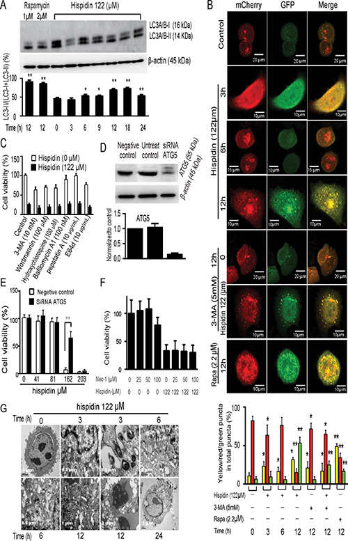 Hispidin induces necrotic cell death involving autophagy in SGC-7901 cells.