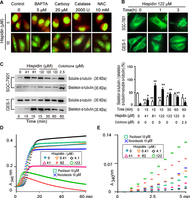 Hispidin induces microtubule depolymerization and is able to cause LMP.