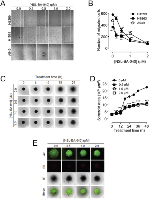 NSL-BA-040 suppresses lung cancer cell migration in 2D and 3D cultures.