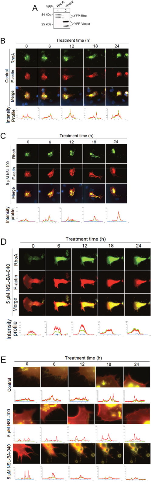 PCAIs decouple RhoA/F-actin intensity profiles, induce exocytosis and loss of F-actin and disrupt Filopodia in H1299 cells.