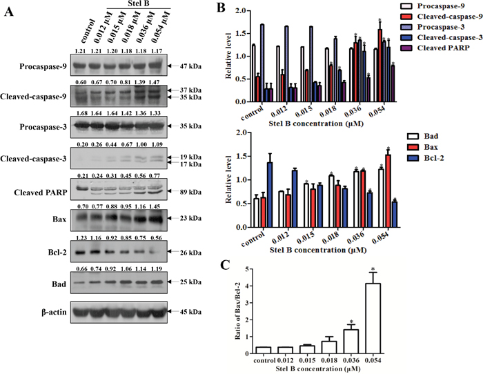 Effect of Stel B on the expression of apoptosis-related proteins in K562 cells.