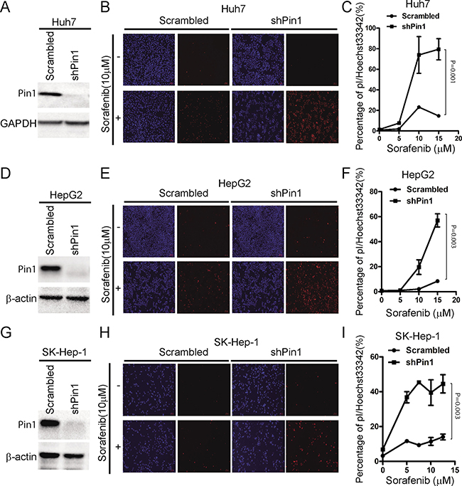 Knockdown of Pin1 sensitizes HCC cells to sorafenib-induced cell death.