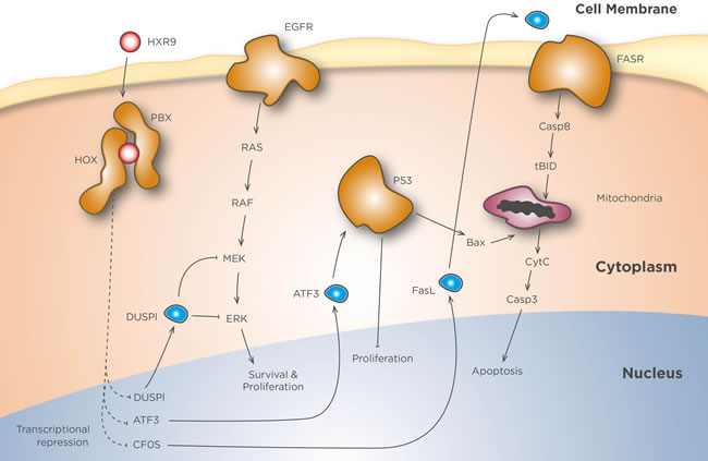 HXR9 mechanisms of action.