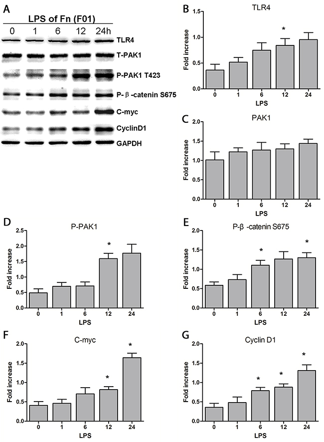 LPS of Fn could be the main reason for activation of the β-catenin signaling pathway through the TLR4/P-PAK1/P-β-catenin S675 cascade.