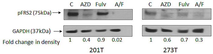 Phosphorylation of FRS2 in presence of fulvestrant and AZD4547.