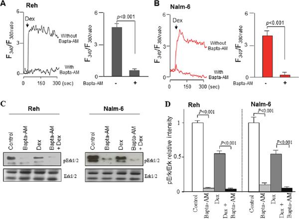 Bapta-AM potentiates dexamethasone-induced inhibition of ERK1/2 signaling by chelating Ca2+ signaling in ALL cells.