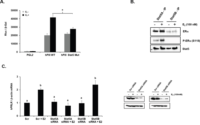 Role of STAT5 in E2-induced promoter activity and mRNA expression of PRLR.