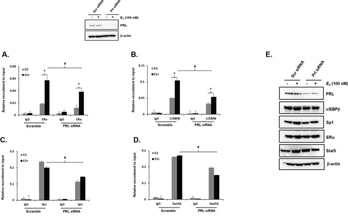 Effect of endogenous PRL knockdown on Recruitment of ERα, Sp1, C/EBPβ and STAT5a on to the PRLR promoter.