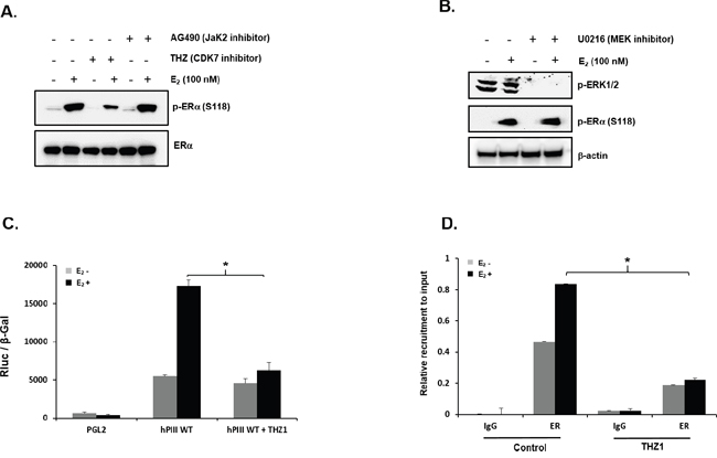 Role of CDK-7 in E2 induced promoter activity.