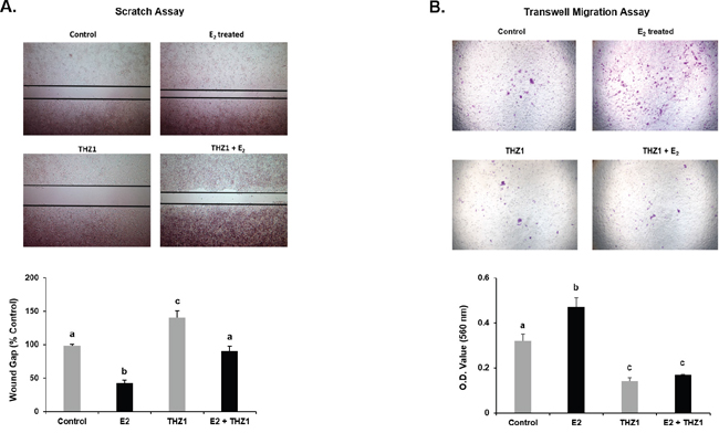 Effect of CDK-7 treatment on E2 induced MCF-7 cell migration by Scratch (A) and Trans-well (B) assays.