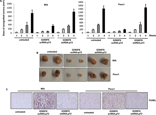 Induction of apoptosis in the xenografted tumors.
