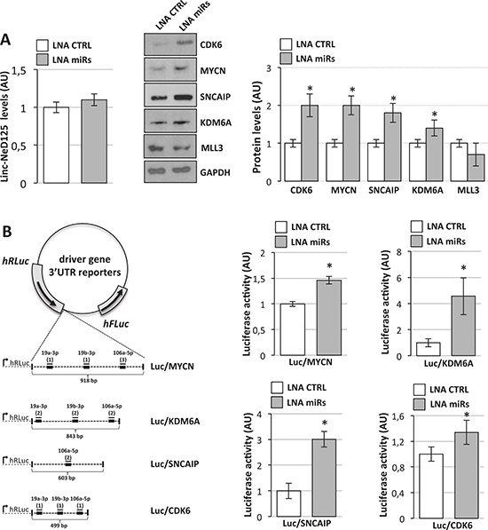 Interaction of miR-19a-3p, miR-19b-3p and miR-106a-5p with G4 driver genes.