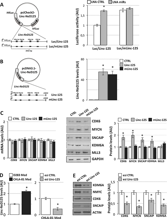 Linc-NeD125 overexpression and downregulation in MB cells.