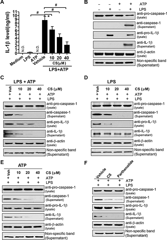 CS inhibits the activation of NLRP3 inflammasome induced by ATP.