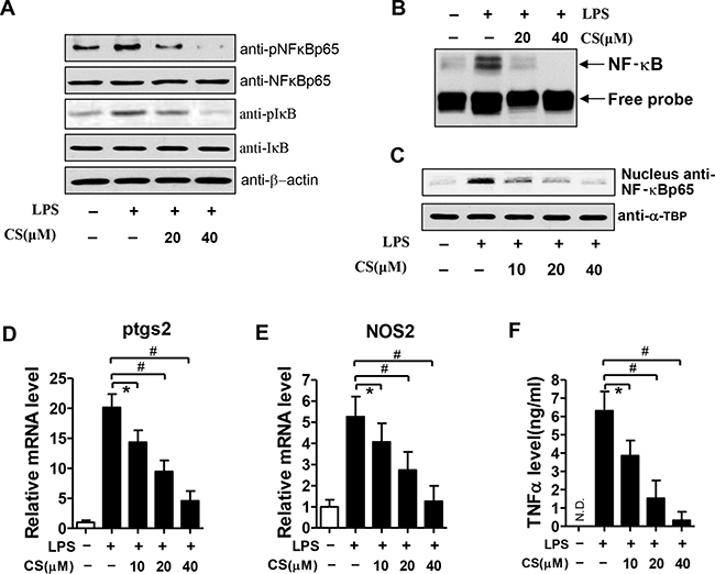 Effects of CS on LPS-induced NF-κB activation in BMDMs.