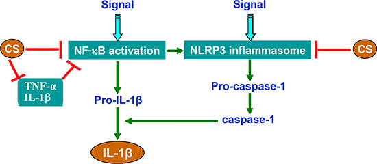 Schematic illustration of CS-mediated inhibition of NLRP3 inflammasome and NF-κB signaling.