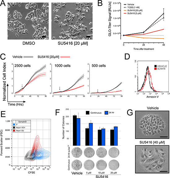 SU5416 inhibits the growth of hepatoma cells and induces a change in cellular morphology.