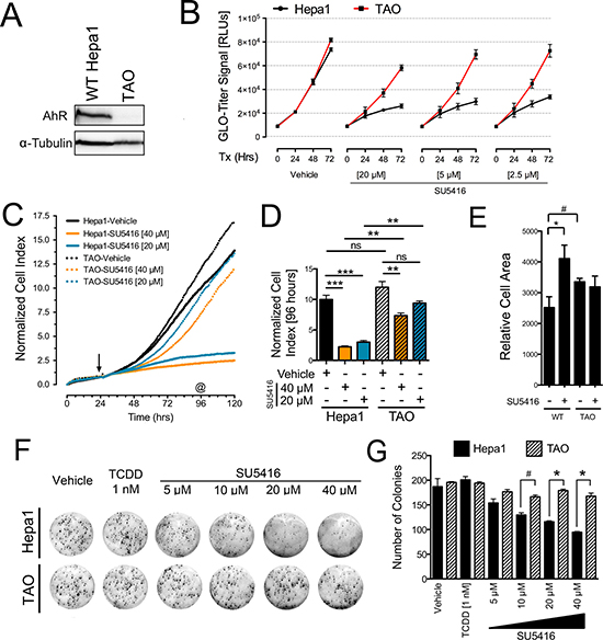The anti-proliferative effects of SU5416 in Hepa1 cells are AhR-dependent.