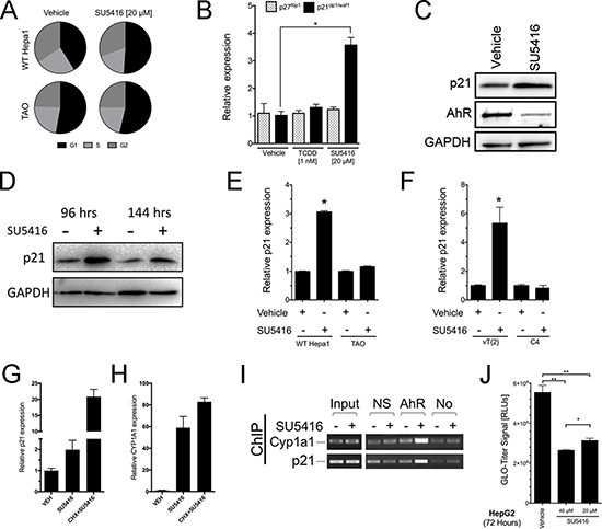 SU5416 increases the population of cells in the G1 phase and directly upregulates CDK inhibitor p21waf1/cip1 in an AhR- and Arnt-dependent manner.