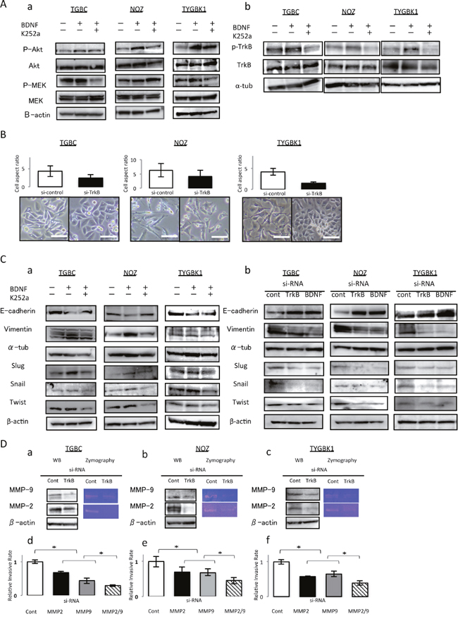 TrkB mediated signaling enhances invasiveness through inducing EMT, and activation of MMP-2 and MMP-9.