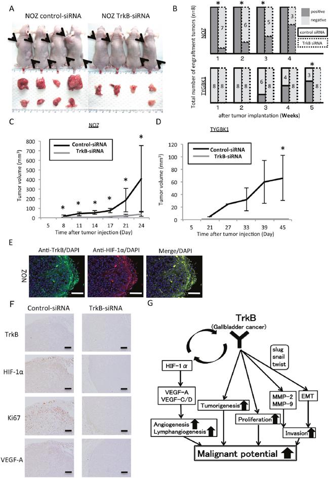 Inhibition of TrkB suppresses tumorigenicity and tumor proliferation in vivo.