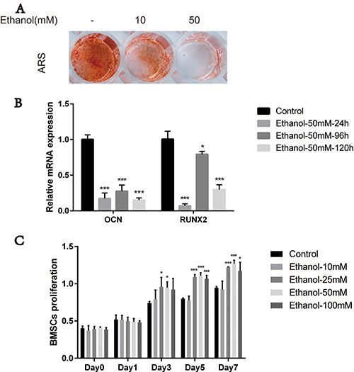 Ethanol impairs osteogenesis potential of BMSCs.