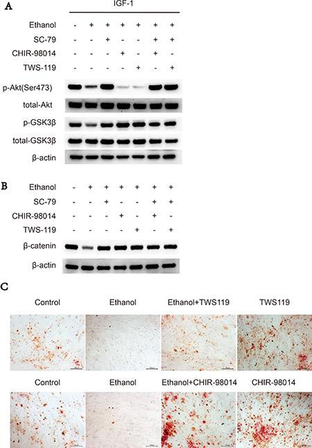 GSK3β inhibitors rescues suppressive effect of ethanol via Akt/GSK3β/β-catenin axis.