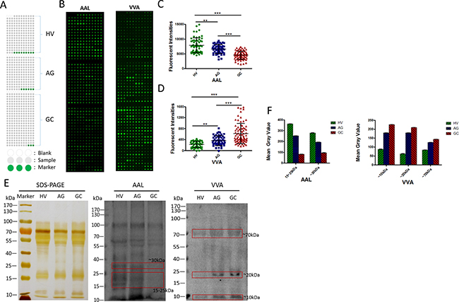 Validation of the differential expressions of the glycopatterns in the saliva among HV, AG and GC.