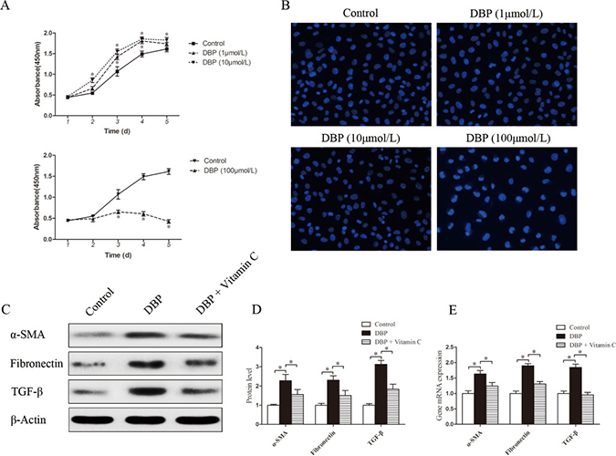 DBP promotes the proliferation and activation of NRK49F cells at a sublethal dose.