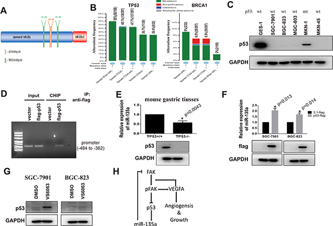 miR-135a is a target gene of p53 in gastric cancer.