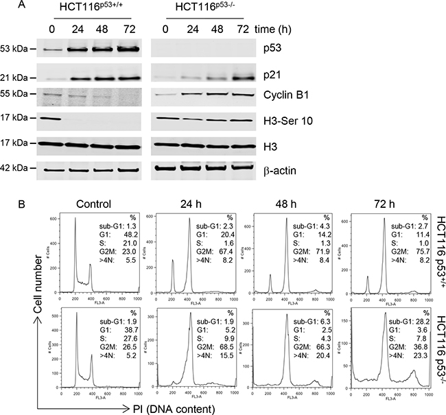 C-1311 has a p53-dependent effect on cell cycle progression.