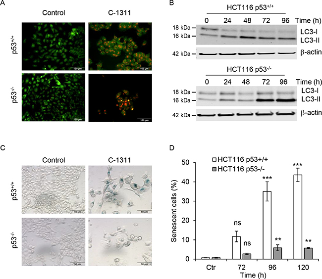 The p53 status determines cell ultimate biological response to C-1311 treatment.