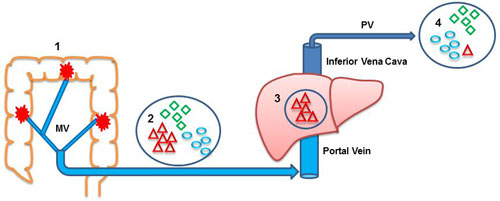 Anatomic route of miRNAs released by the primary colon tumor.