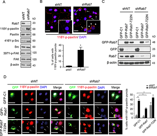 Rab7 and its GTPase activity are required for paxillin accumulation into cytosolic puncta.