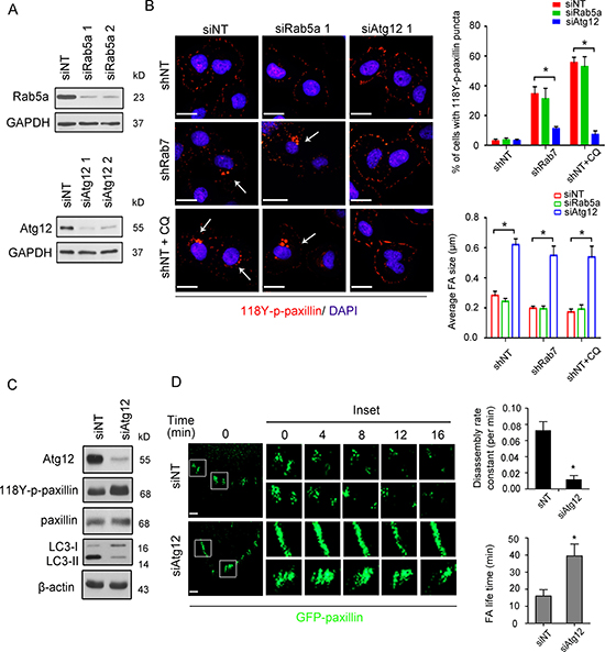 The autophagic pathway regulates Rab7-mediated paxillin turnover.