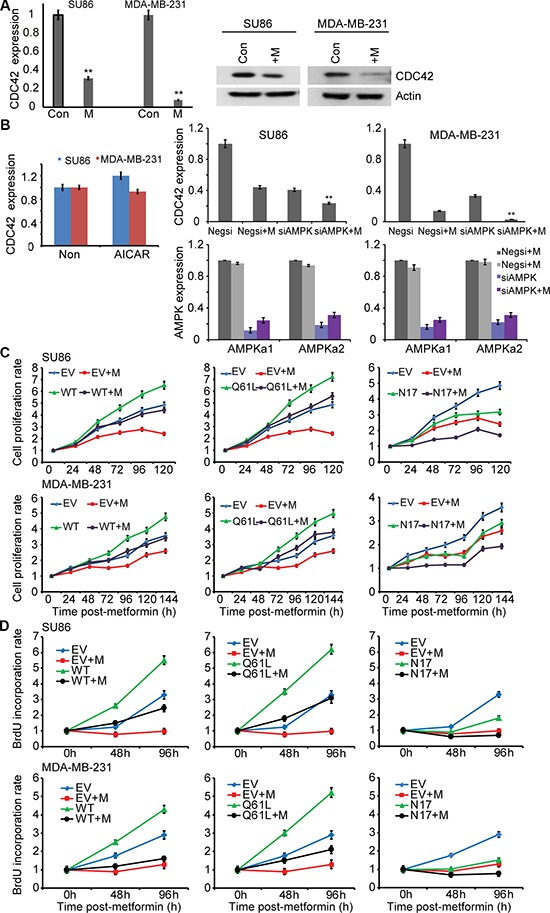 Metformin inhibits expression of CDC42.