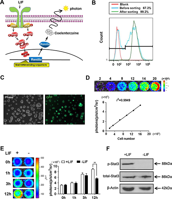 Construction of Stat3-Rluc-GFP-reporter ES cells.