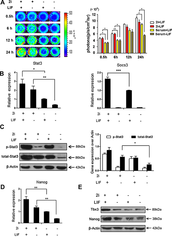 2i treatment increased phoshphor-Stat3 activity and Stat3 activation is limiting for ground state pluripotency.