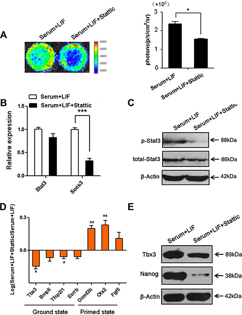 Stattic repressed the phosphorylation of Stat3 and relative gene expression.