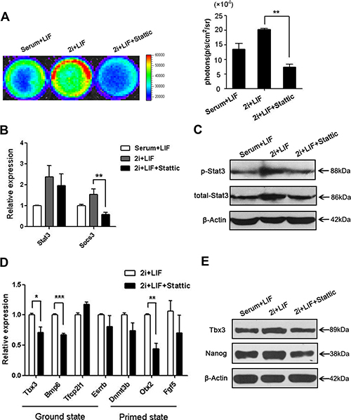 p-Stat3 is a limited factor for the ground state of ES cells culturing in 2i+LIF.