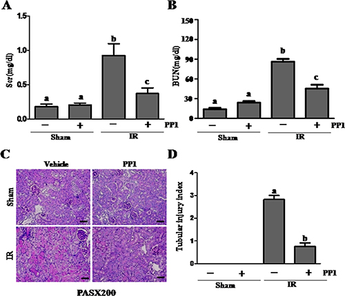 PP1 protects against renal I/R injury in mice.