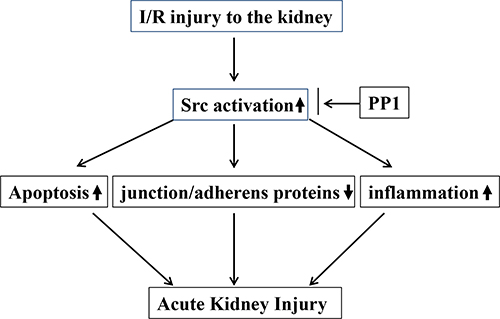 The underlying mechanism by which Src activation contributes to AKI.