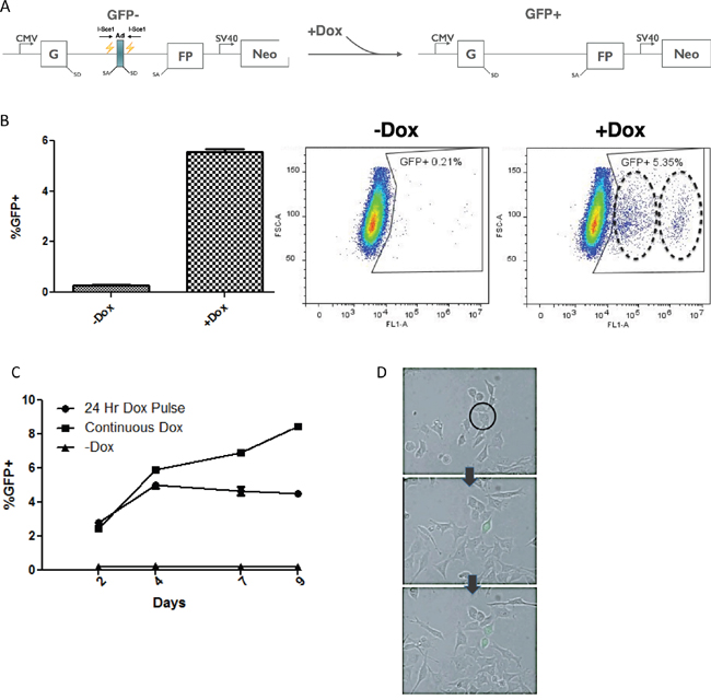 Doxycycline inducible construct uses GFP as a reporter for NHEJ.