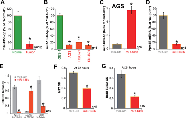 Exogenous expression of miR-135b-5p leads to Ppm1E depletion, AMPK activation, and proliferation inhibition in AGC cells.