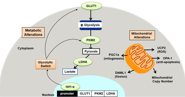 Schematic representation of the metabolic and mitochondrial alterations in early colon carcinogenesis.