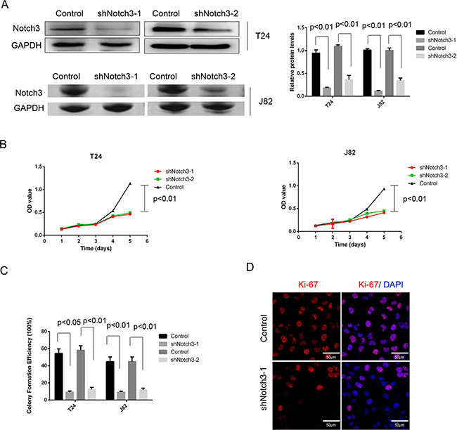 Notch3 knockdown inhibits cell growth in vitro.