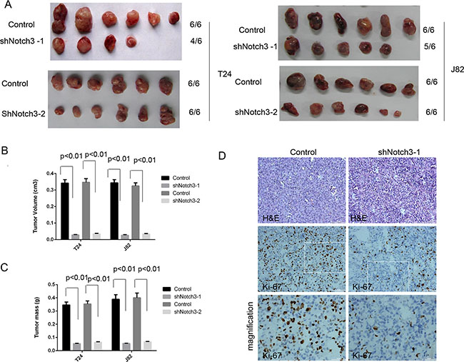 Notch3 knockdown decreases tumor growth in vivo.